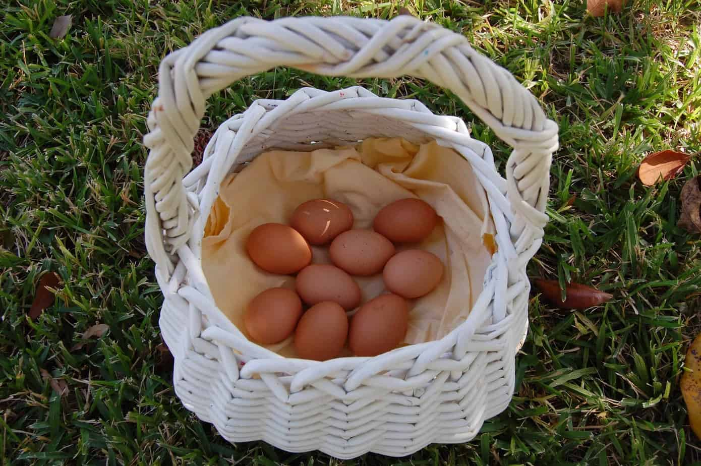 raising backyard chickens in the city limits