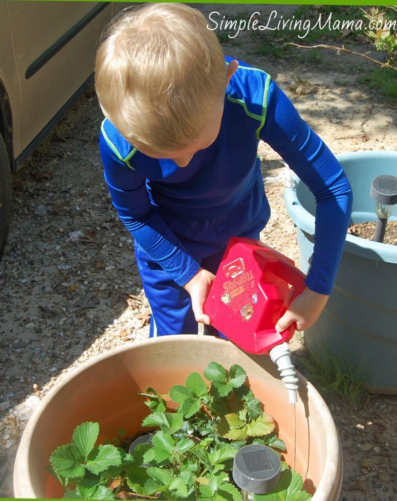 Boy watering strawberry plants