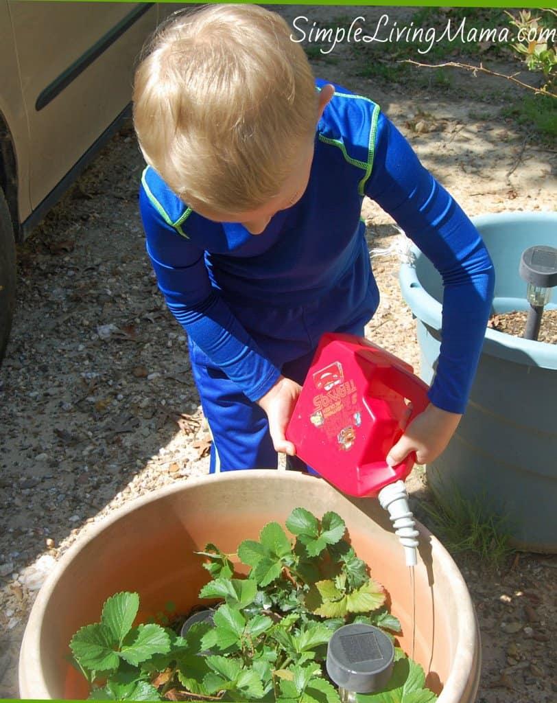 Boy watering strawberry plants
