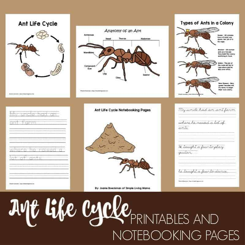 graphic regarding Ant Printable named Lifetime Cycle of an Ant Printables and Notebooking Webpages