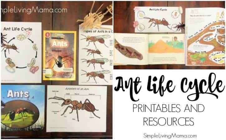 Life Cycle of An Ant Printables