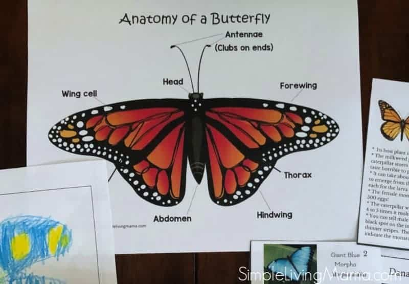 learn the anatomy of a butterfly