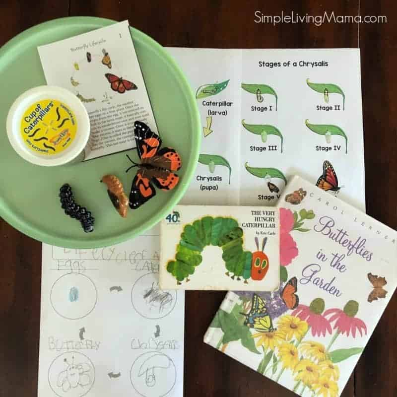 butterfly life cycle activitiy