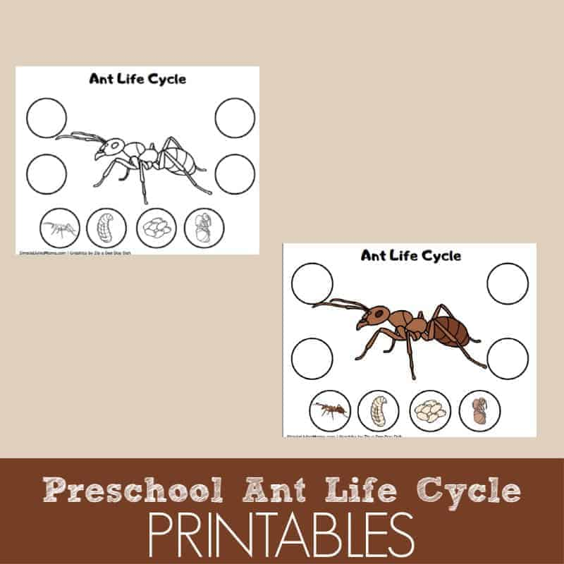 photo relating to Ant Printable named Preschool Ant Daily life Cycle Printable - Uncomplicated Residing Mama
