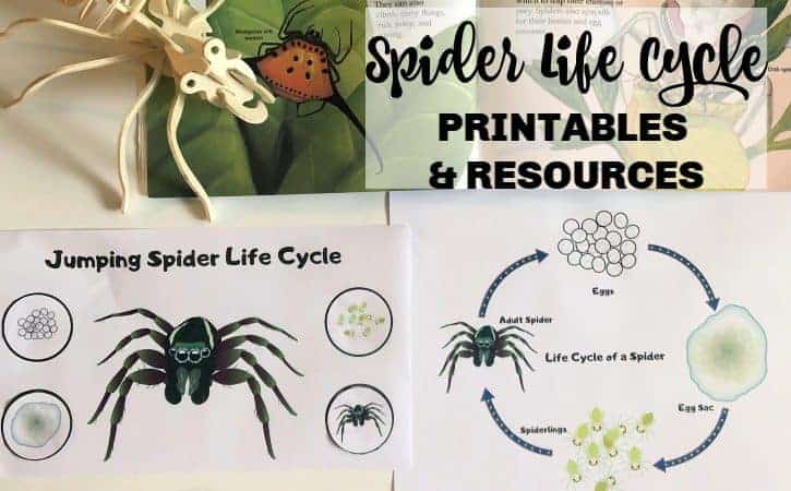 Life Cycle of a Spider Printables and Resources