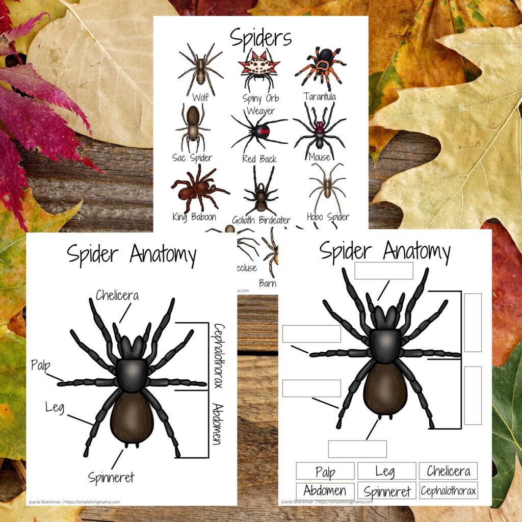 Spider poster and spider anatomy